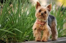silky dog. silky terrier dog pet insurance