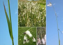 Eriophorum latifolium Hoppe - Sistema informativo sulla flora delle ...