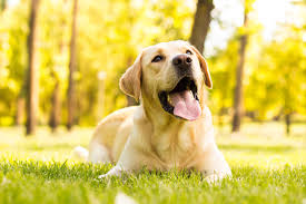 Female Dog Heat Cycle Chart Facts About Labrador Heat Cycle You Must Know