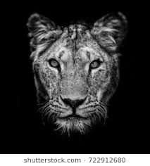lioness black and white. Interesting Lioness Portrait Of A Lioness On Black Background Lovely Lioness Closeup African  And Lioness Black White L