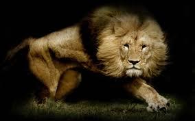 lion wallpaper 50 backgrounds wallruru