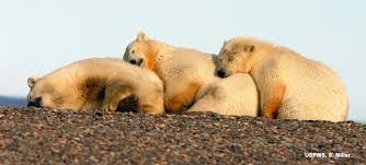 Few polar bears  such as these two on sea ice in the Arctic Ocean