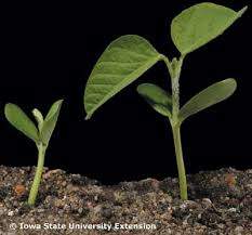 Soybean Growth Stages Integrated Crop Management