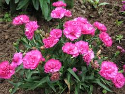 Image result for sweet william plants