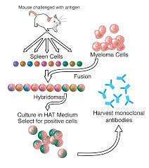Monoclonal Antibody Wikipedia