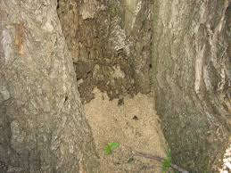 Small Red Ants In Kitchen Carpenter Ants In Trees News