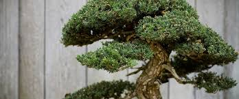 the gift that keeps growing bonsai tree