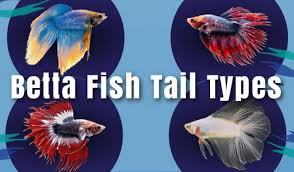 Betta Fish Chart Betta Fish Tail Types Japanesefightingfish Org