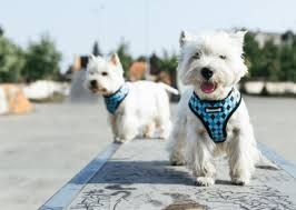 10 Best Harnesses For Small Dogs And Other Toy Breeds