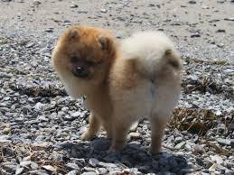Anal sac cancer dogs urination