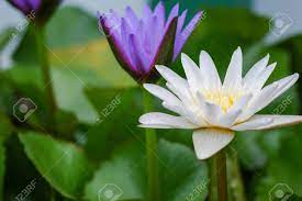 Purple And White Lotus Flower Blooming ...