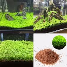 Best Low Light Carpet Plant Us 1 23 Lots Aquarium Plant Seeds Aquatic Double Leaf Carpet Water Grass Fish Tank Decor In Decorations From Home Garden On Aliexpress