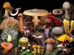 """Реферат на тему """"Отруєння грибами"""" Учениці б класу Машовець  Отруєння отруйними грибами ділиться не кілька типів"""