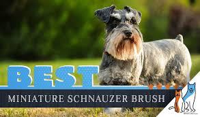 7 best brushes for miniature schnauzers