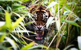 Tiger Roaring iimgurcom [1920x1200 ...
