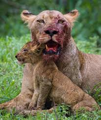 lioness and 4 cubs. Contemporary Lioness Lioness Lost A Tooth Fighting For Her Cub For And 4 Cubs U