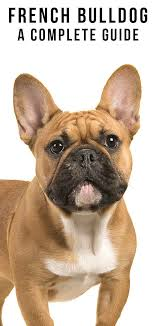 French Bulldog Breed Information Center The Complete