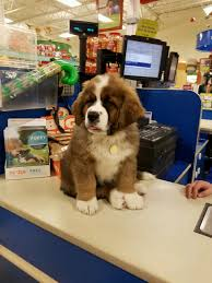 Saint Bernard Height Chart 12 Week Old Saint Bernard Puppy At Petsmart Aww
