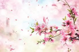 Bunga Sakura Latar Belakang Bunga Sakura Segar Gambar Unduh Gratis_