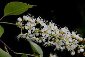 Prunus serotina - Michigan Flora