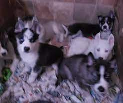 siberian husky puppies puppies