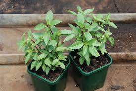 Indian Basil. indoor plants