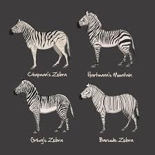 Zebra Chart Art Print Ginny Vinson You Need This For Wyatts