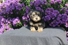 angie morkie poo puppy