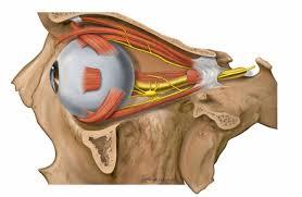 Orbit   Radiology Reference Article   Radiopaedia.org