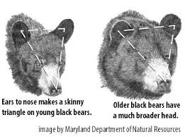 Hunting Season Chart Bear Hunt 4 Ways To Judge The Size And Age Of A Black Bear