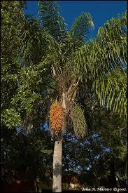 Johnu0027s Daily Digital Images Queen Palm TreePalm Tree Orange Fruit