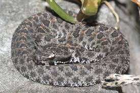 Black Snake With Diamond Pattern Custom Decorating Design