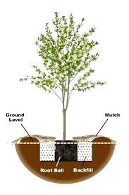 Moonglow Pear Pollination Chart Ayers Pear Tree Pollination Lapergola Info