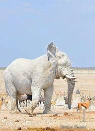 white elephant animal. Beautiful Animal Albino Elephant White Elephant Elephant Love Walk Inside Animal E