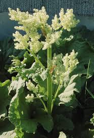 Rheum palmatum - Wikipedia