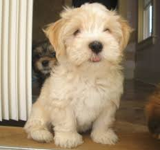 Small Picture 593 best Havanese if You Please images on Pinterest A dog