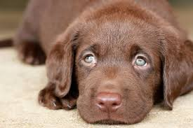 chocolate lab puppies. Contemporary Puppies Chocolate Labrador Puppy Throughout Lab Puppies E