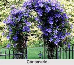 Vine Plants In IndiaWall Climbing Plants India
