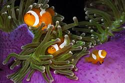 Aquanerd Blog Article On Pairing Clownfish With Sea Anemones