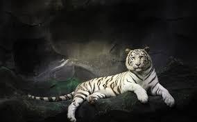 white tiger wallpaper desktop. Perfect Wallpaper Top White Tiger HD Wallpapers  Amazing To Wallpaper Desktop
