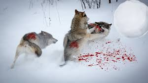 white wolf and black wolf fighting. Delighful Wolf Wolf Attack WolfWolves Vs Wolves FightBlack White Fight T To And Black Fighting
