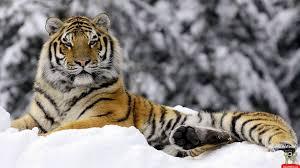 siberian tiger wallpaper desktop. Contemporary Desktop Wallpapers For U003e Siberian Tiger Wallpaper In Desktop Cave