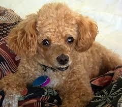 toy poodle dog breed