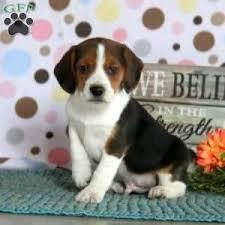 a beagle puppy named teddy