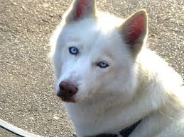 white wolf pup with blue eyes. Brilliant White This Great Dog Is Similar To A Timber Wolf In Both Size And Coloring Most  Alaskan Malamutes Weigh About 35 40 Kilos Around 75 85 Pounds  In White Wolf Pup With Blue Eyes D