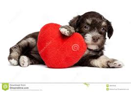 cute animal valentines day wallpaper. Beautiful Valentines Download Cute Valentine Havanese Puppy Dog With A Red Heart Stock Photo   Image Of Animals Throughout Animal Valentines Day Wallpaper L