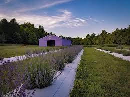 cut fresh lavender sunflowers at this river city farm