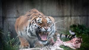 Zwei Tiger auf Durchreise in Frankfurt
