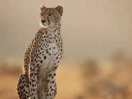 background images animals. Fine Background Free Cheetah Wallpaper Wallpapers And Background Intended Background Images Animals