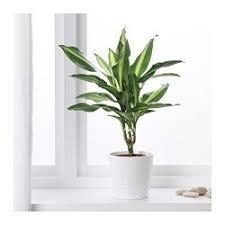 office pot plants. DRACAENA MASSANGEANA Potted Plant - IKEA Office Pot Plants